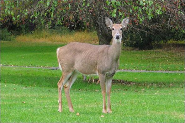 ht-deer